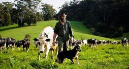 Dairy farmers hit by milk price wars